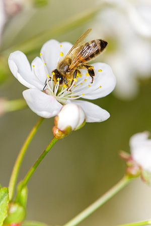 Honeybee on white flower