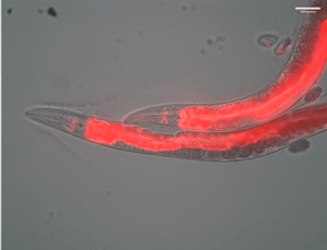 C. elegans expressing flourescently labelled progranulin in the head and intesti