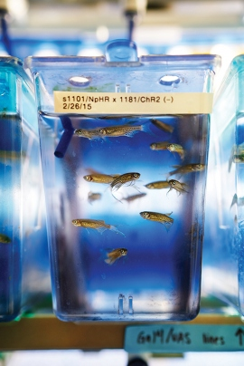 Genetically modified zebrafish in a tank