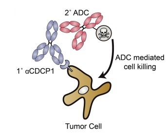 Antibodies that recognize proteins on the surface of Ras-mutant cancer cells allow researchers to target cancer-killing drugs straight to the tumor. Credit: eLife / Wells lab
