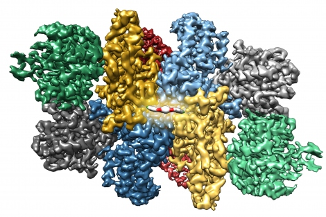 This 3-D rendering shows the propeller-shaped molecule ISRIB (red and white) tucked into the center of eIF2B, stapling two halves of the protein complex together. Image credit: J. Tsai et al./Science 2018