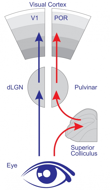 Diagram demonstrating postrhinal cortex (POR) gets information about moving objects via a parallel visual pathway from an evolutionarily ancient brainstem area called superior colliculus.