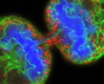 Cell Dividing