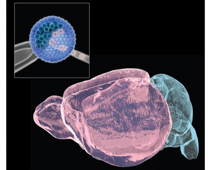 "Illustration of ""chimera"" brains with cells derived from two genetically distinct mouse strains colored in pink and blue."