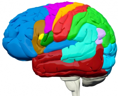 Illustration of human brain