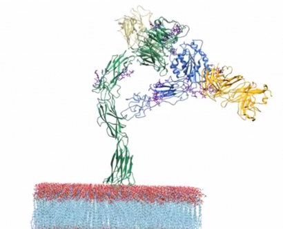 visualization of an integrin protein