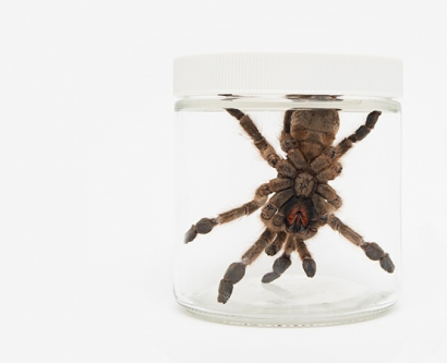 Heteroscodra maculata, a West African tarantula,is shown in a jar
