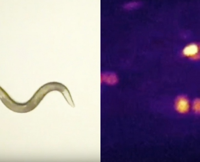 a C. elegan worm is shown next to high-resolution imaging with single neurons flashing