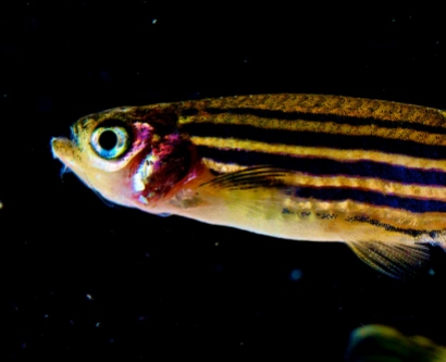 closeup of live zebrafish