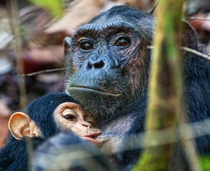 Mother chimpanzee nursing her baby.