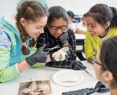 four middle school students dissect a sheep heart
