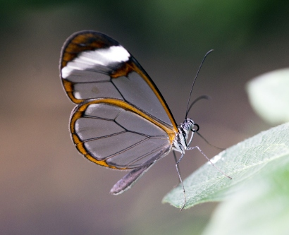 a glasswing butterfly on a leaf