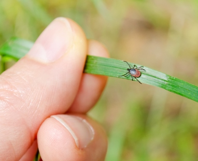 an adult tick walks on a grass blade toward a had