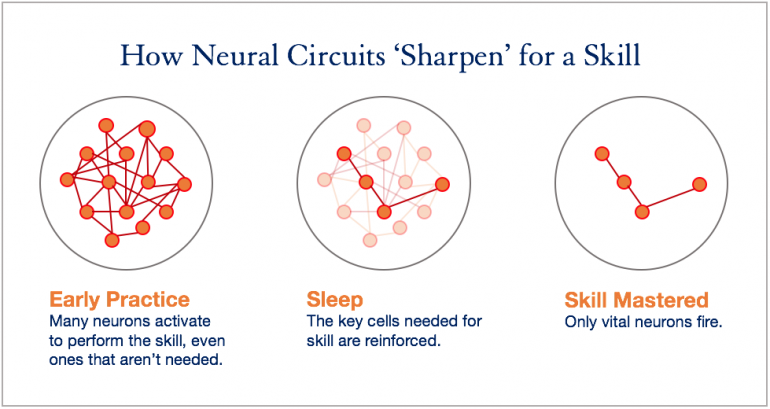 How Neural Circuits Shape the Brain: 1) Early Practice: Many neurons activate to perform the skill, even ones that aren't needed. 2) Sleep: The key cells needed for skill are reinforced. 3) Skill Mastered: Only vital neurons fire.