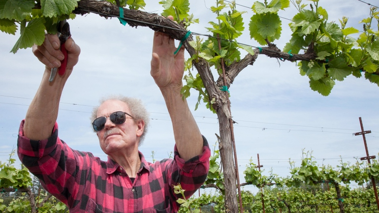 Robert Thistle, a UCSF patient, is shown trimming grape vines at the Woodenhead winery in Northern California.