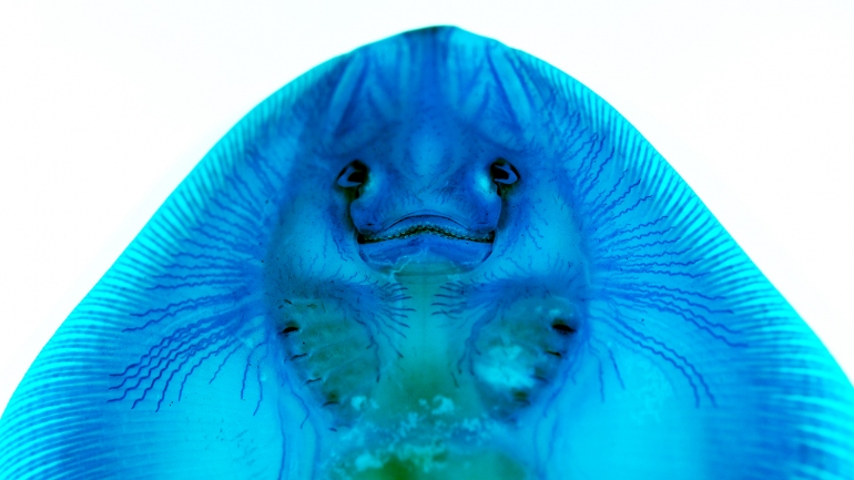 A little skate's ampullary organs are stained blue