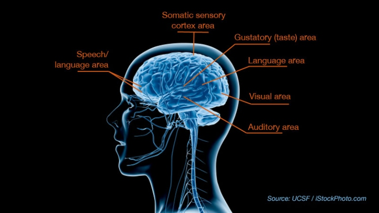 Breakthrough study reveals biological basis for sensory processing side view diagram of human brain that shows speechlanguage area toward the front ccuart