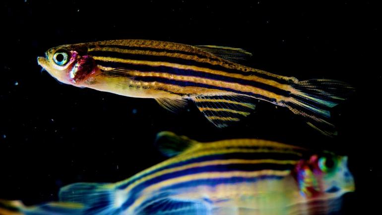 Human Gene Prevents Regeneration in Zebrafish | UC San Francisco