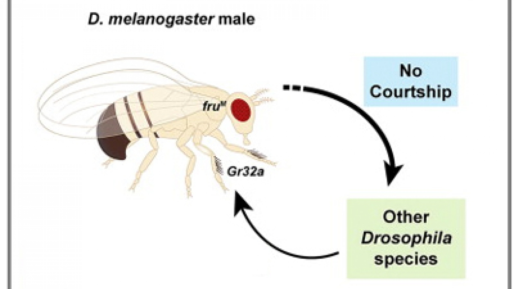 researchers discover how fruit flies know to mate their own  researchers discover how fruit flies know to mate their own species uc san francisco