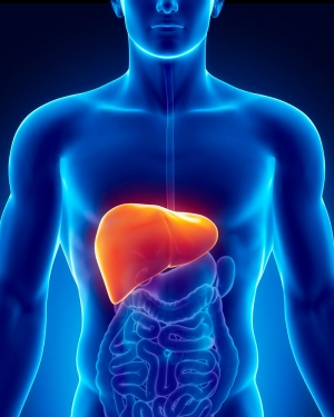 digital illustration of liver inside a man