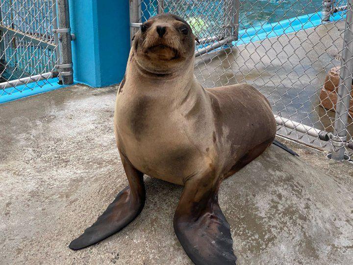 Cronutt the sea lion