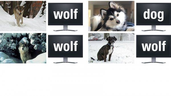 Photos of dogs and wolves identified by machine learning