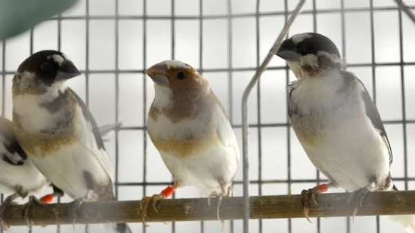 Brainard Bengalese Finches