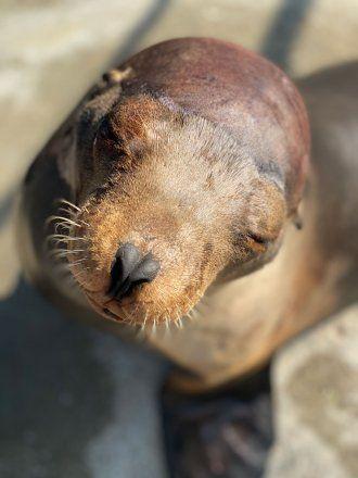 A sea lion named Cronutt